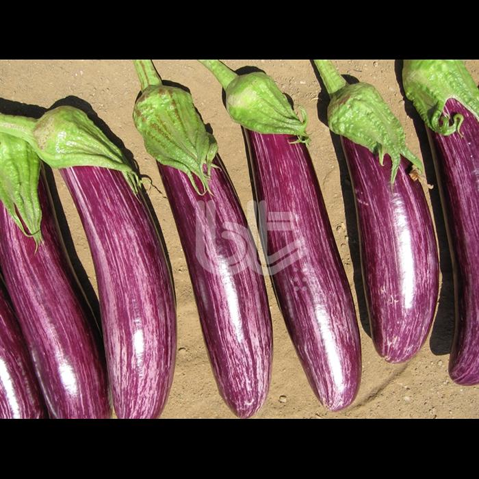Bt Manisa Çizgili F1 Patlıcan Fidesi