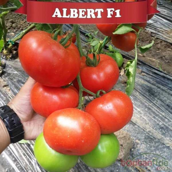 Alberty F1 Beef Domates Fidesi